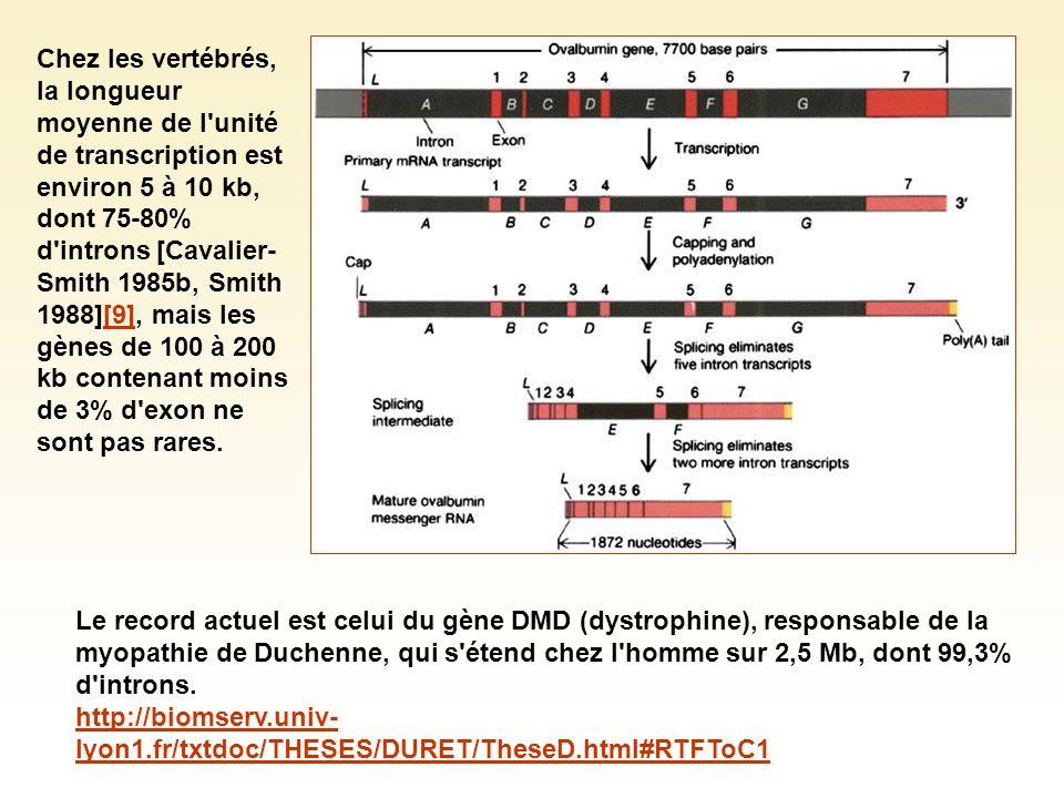 Chez les vertébrés, la longueur moyenne de l unité de transcription est environ 5 à 10 kb, dont 75-80% d introns [Cavalier-Smith 1985b, Smith 1988][9], mais les gènes de 100 à 200 kb contenant moins de 3% d exon ne sont pas rares.